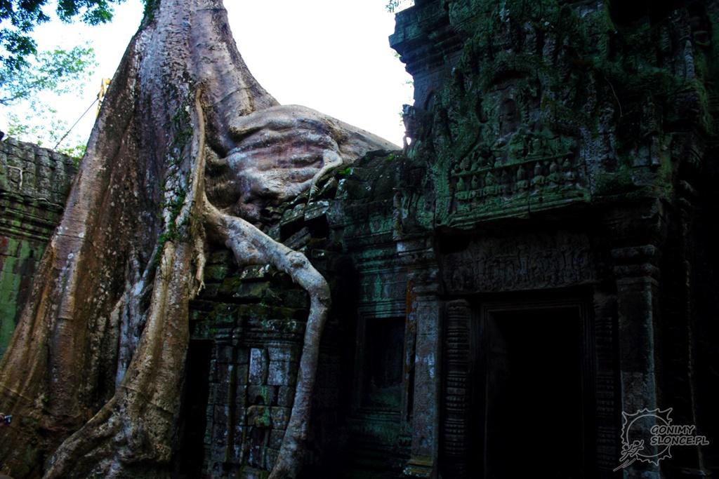 Słynne drzewo w Ta Prohm