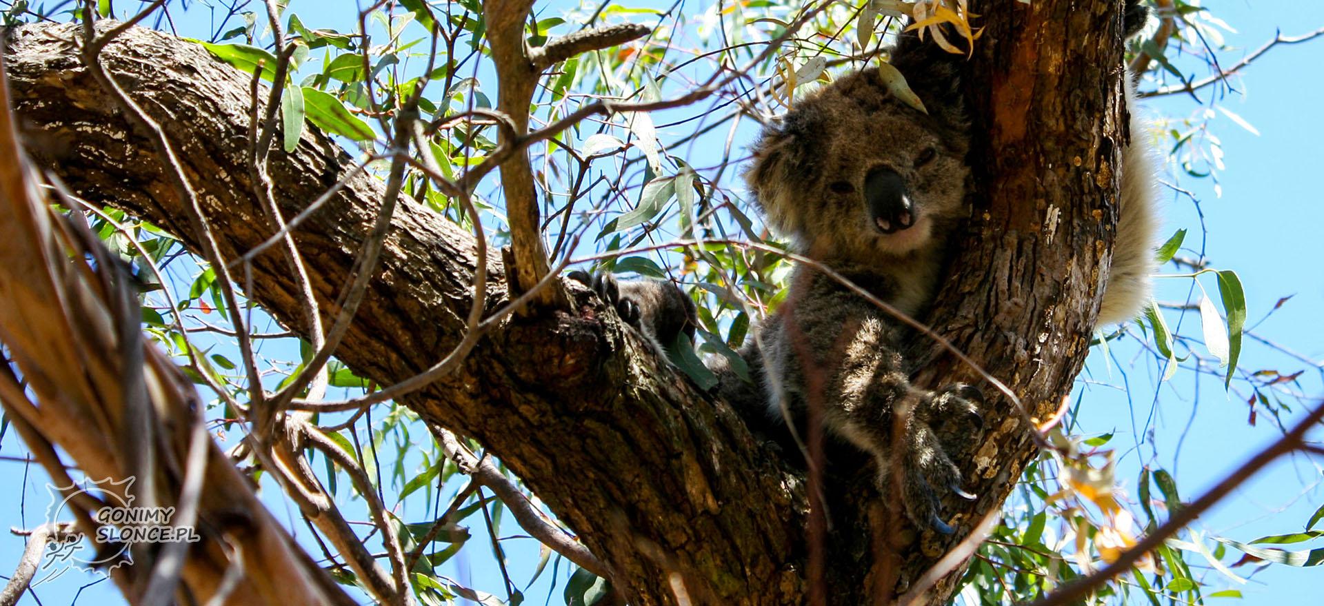 Koala na drzewie, Australia