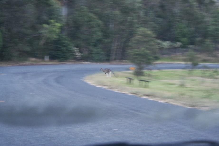 kangoorek