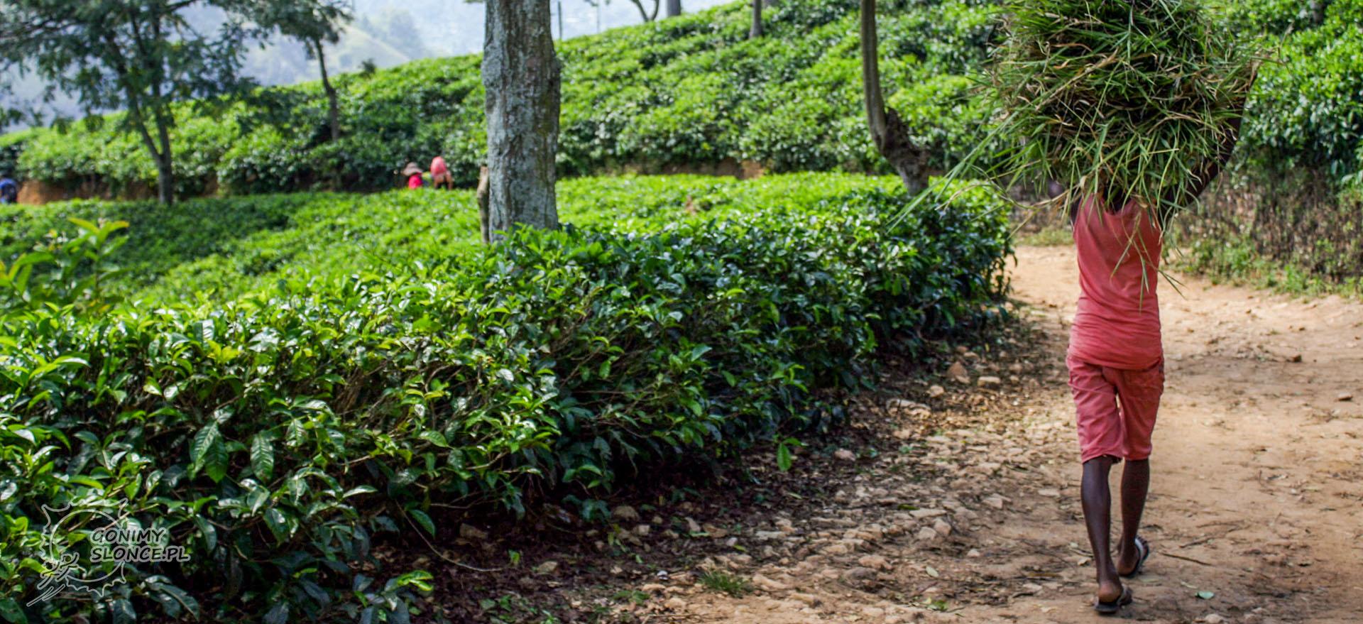Ella, Sri Lanka, plantacje herbaty