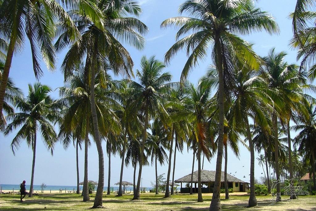 Rajskie palmy przy plaży Nilaveli