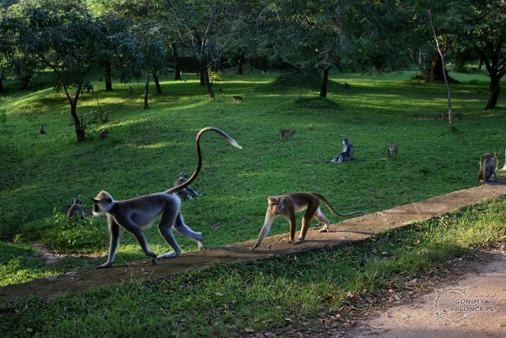 Polonnaruwa - malpy na tereneach zabytkowych