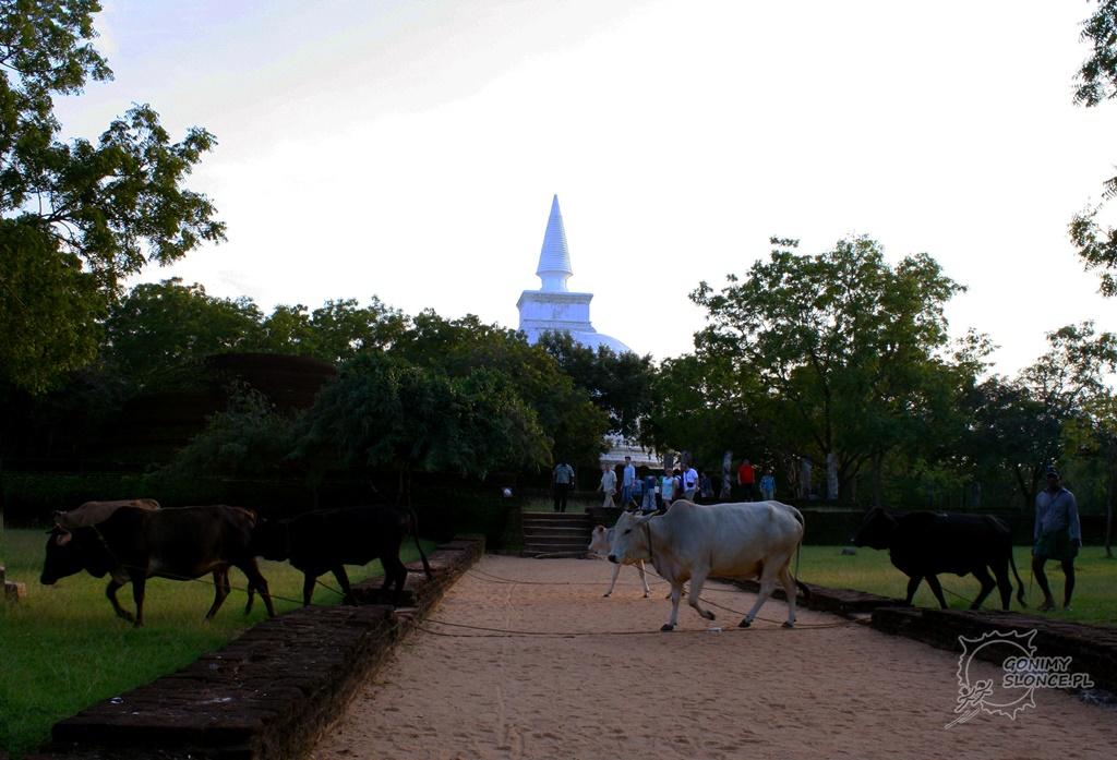 Historyczna Polonnaruwa na szlaku pastwisk