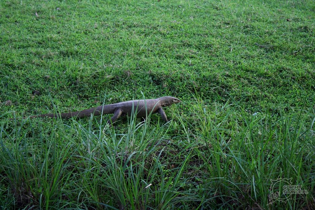 Polonnaruwa - waran - jaszczurka