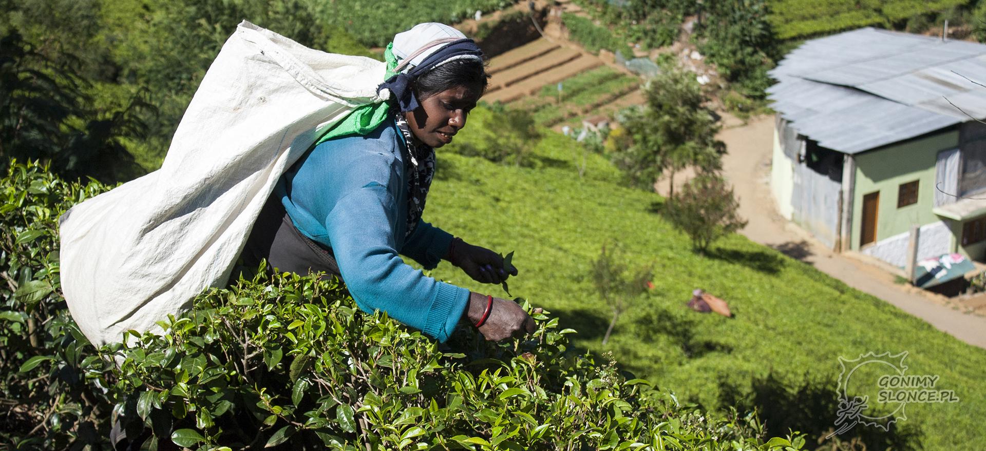 Sri Lanka - zbieranie herbaty