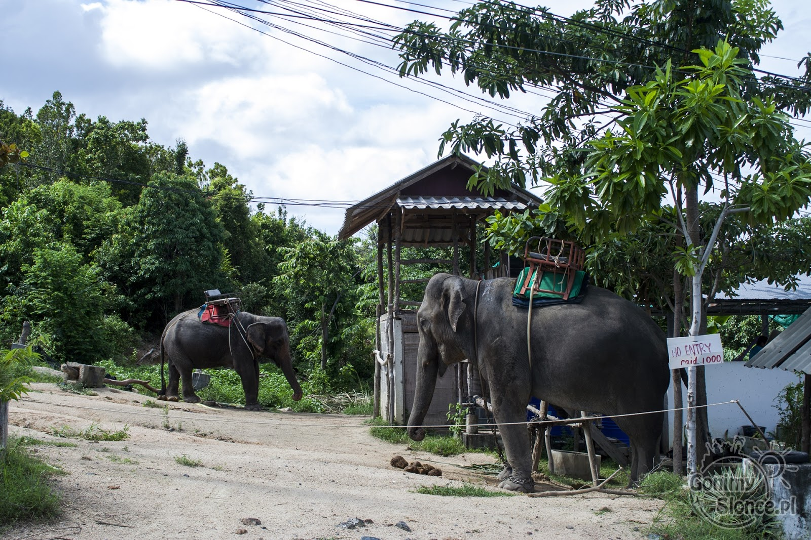 Słonie w niewoli, z łańcuchami na nogach, turystyczne pułapki Tajlandii