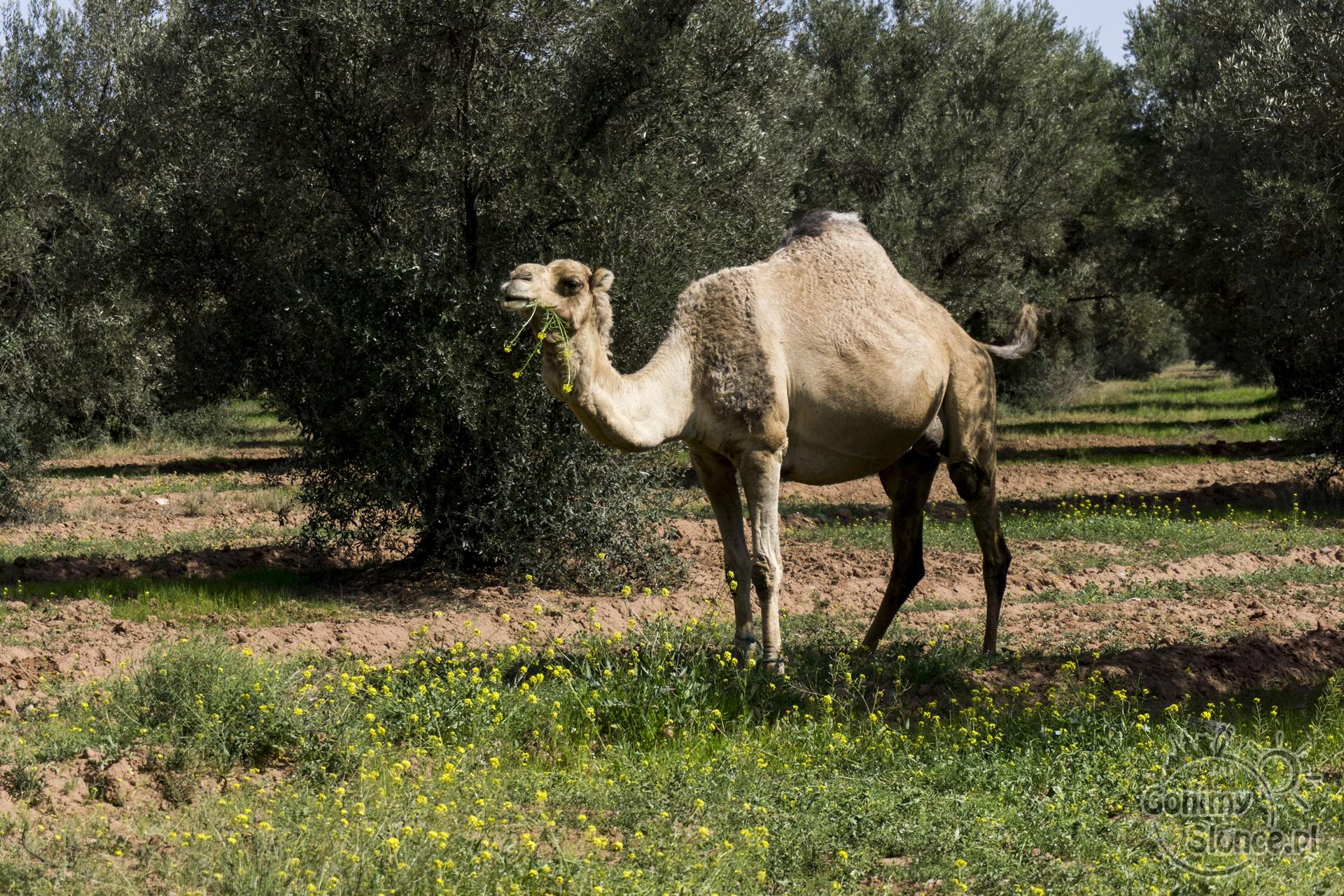 Marrakesz, Gaj oliwny Oliveraie Bab Jdid