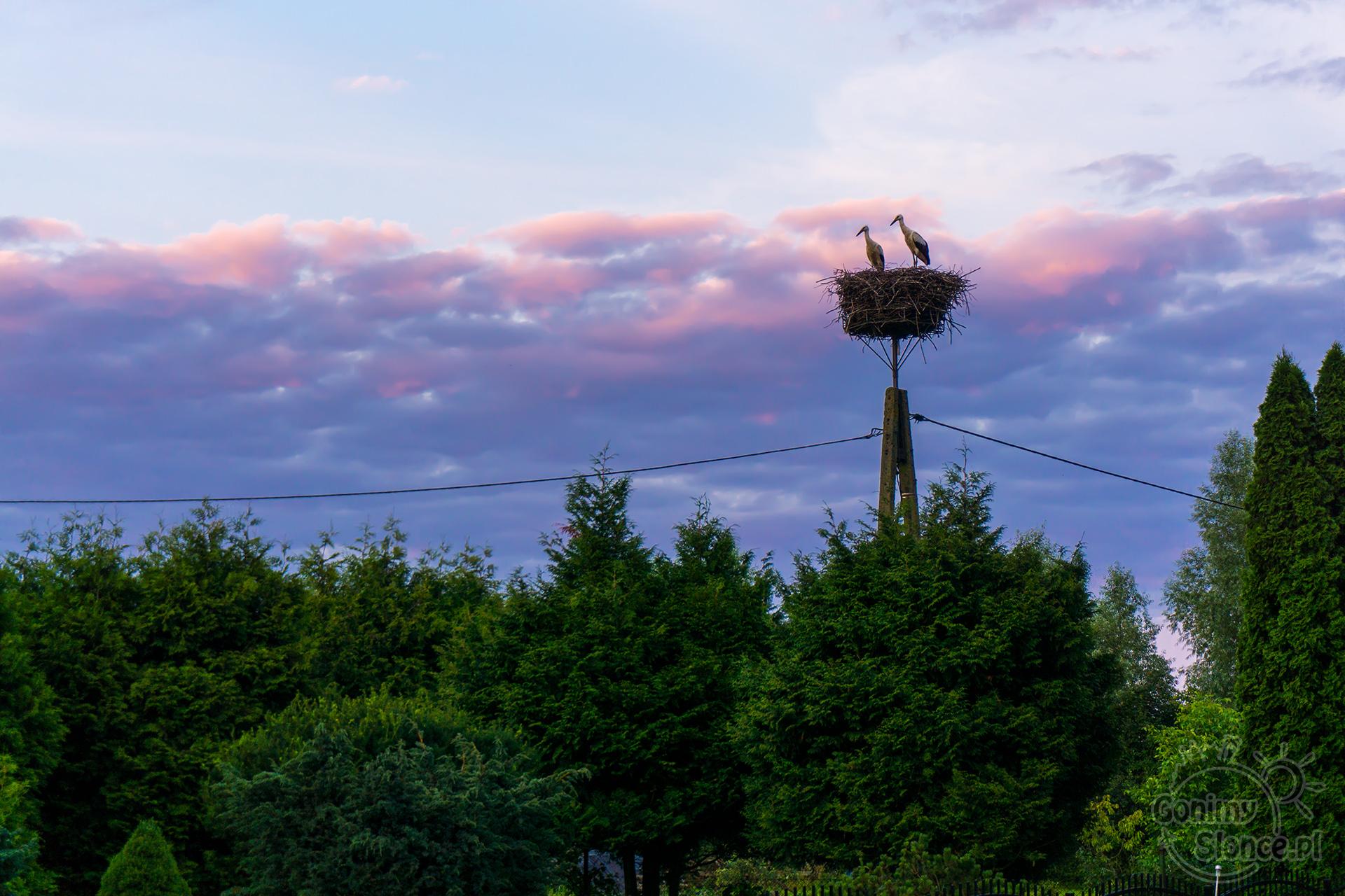 Bociany w gniazdach o zmierzchu, Polska