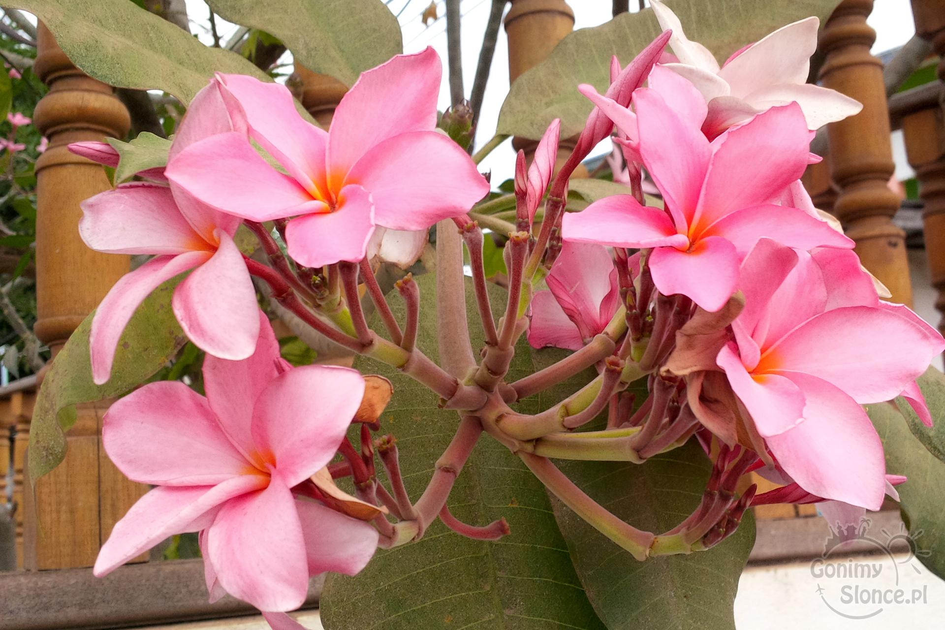 Plumeria - tropikalne kwiaty na drzewie