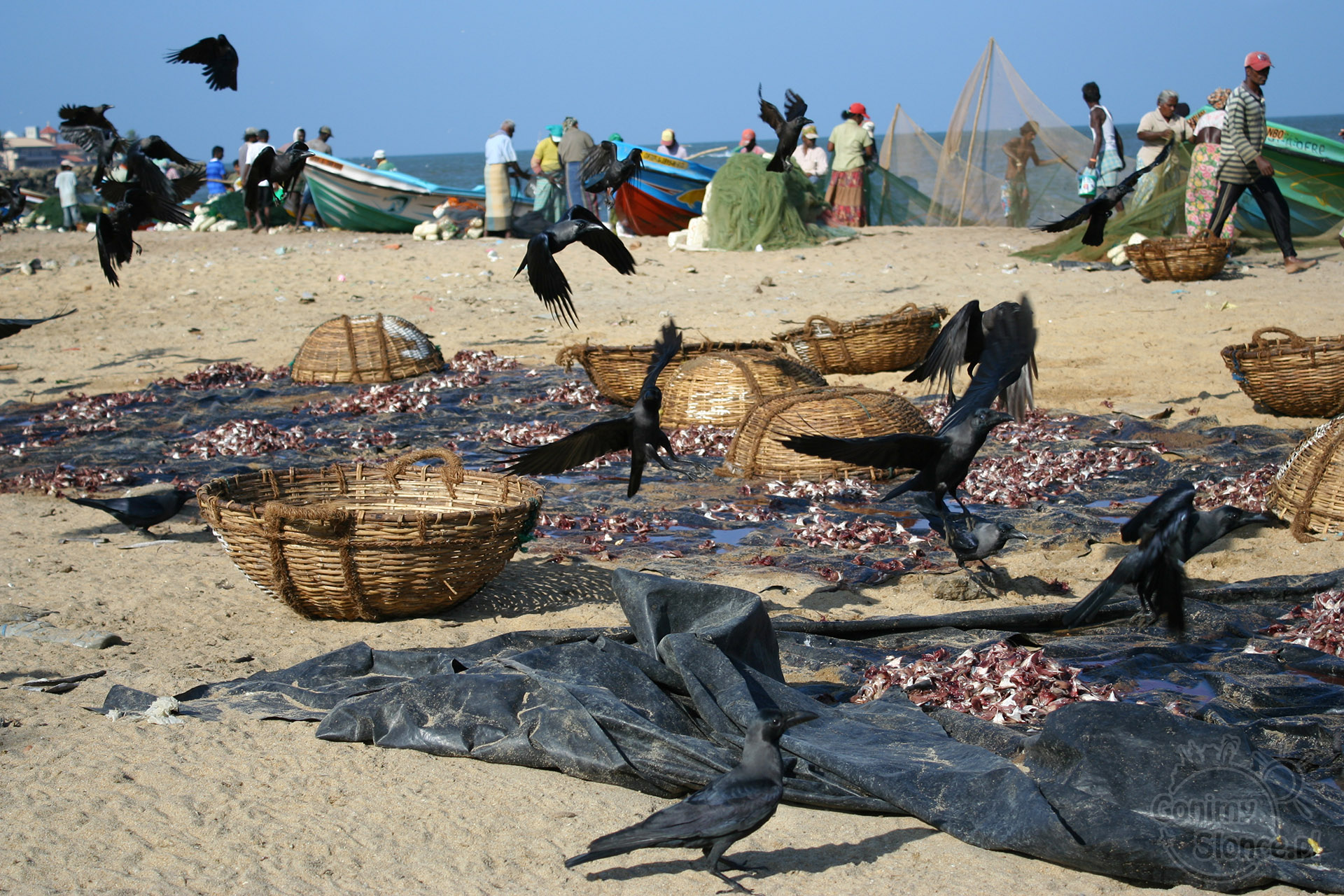 Negombo, Sri Lanka - targ rybny / wady podróży dookoła świata