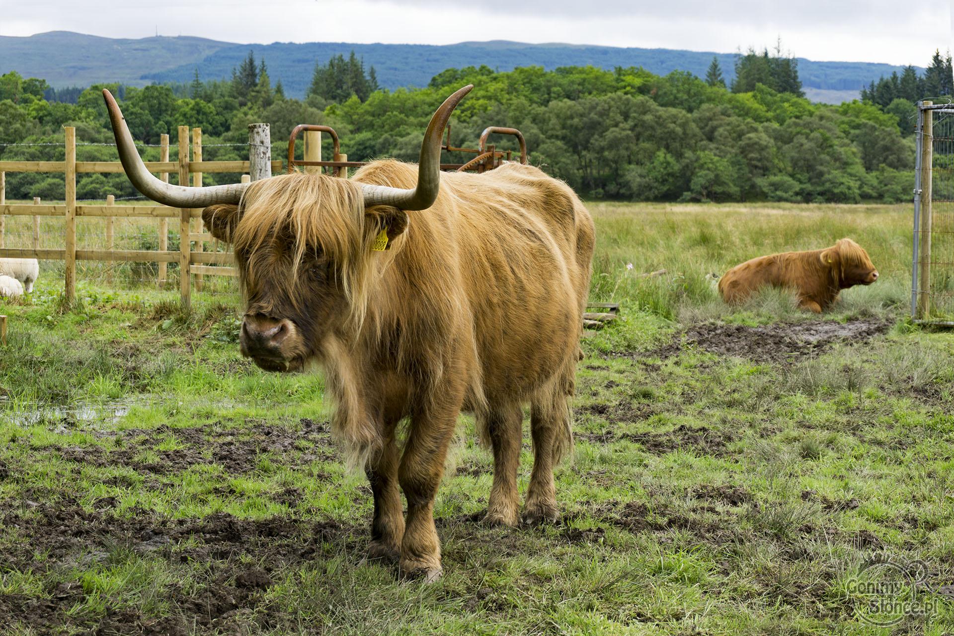 Krowa szkocka rasa, road trip w Szkocji