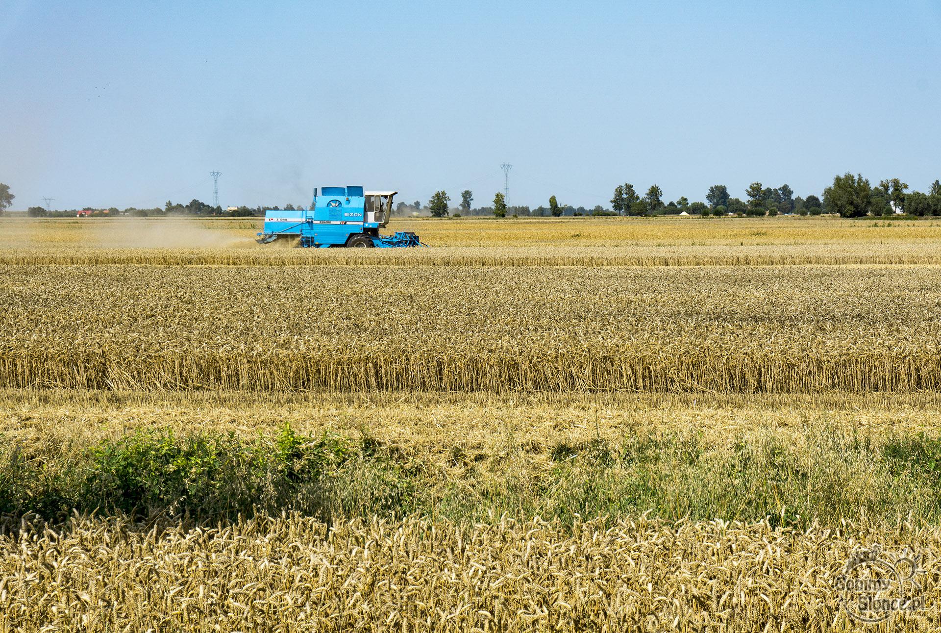 Kombajn rolniczy na Żuławach, żniwa w lipcu