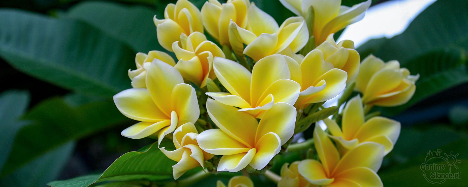 Plumeria - egzotyczne kwiaty, Tajlandia - czy warto?